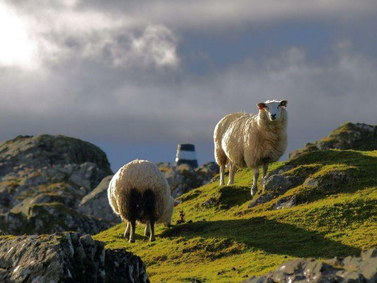 Sheep from Kvitsøy - famous.
