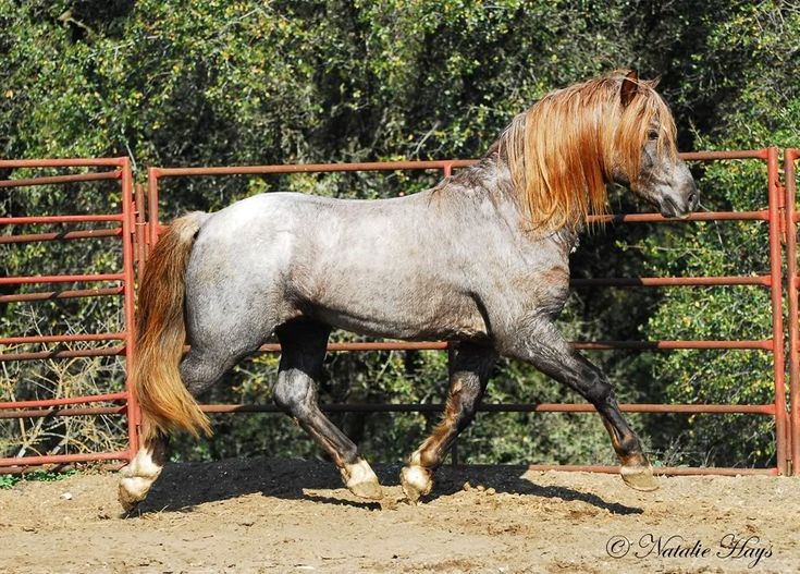 """Unique coloring on a horse! Read the book """"Nobody's Horses: The Dramatic Rescue Of The Wild Herd Of White Sands """" by Don Höglund, DVM . Wild horses were described w/similar coloring & determined to be descendents of Midnight. Whose progeny was Peppy San Badger. Isolated & undisturbed for years. Loved the book -wish there had been more photos! (However this is RISE N SHINE DAYDREAM BELIEVR H, WELSH PONY, 2004 (liver chestnut roan with two red roan parents)"""