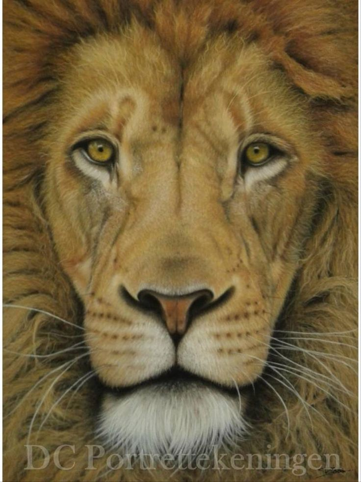 """Lion"" realistic portrait drawing made with pastelpencils"