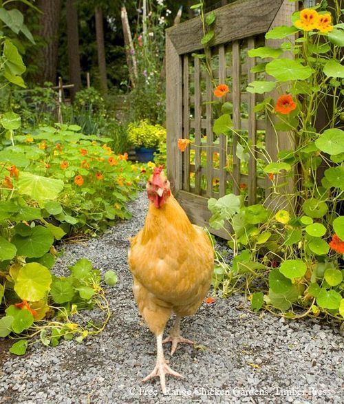 .I wish Oklahoma City was not so backwards about raising a couple of chickens in the backyard.