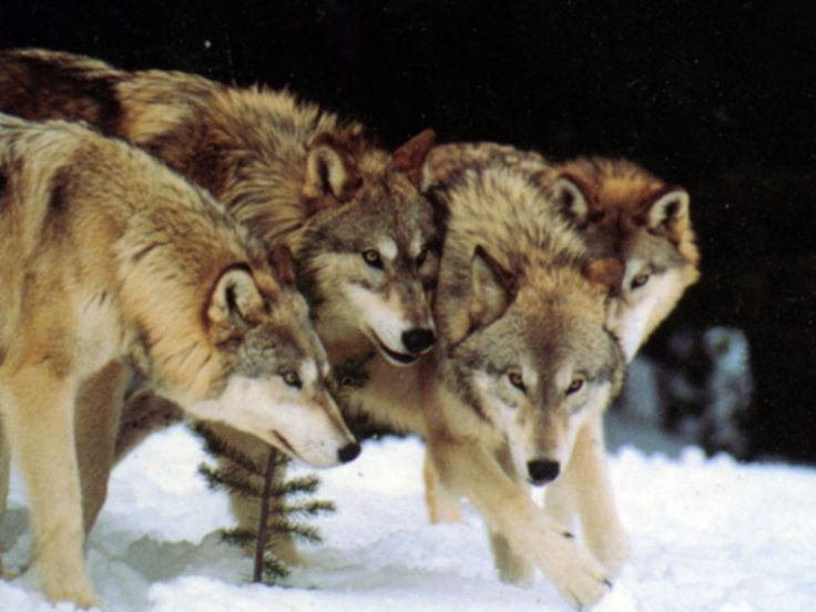 Wolves In The Wild | wolves | Pinterest