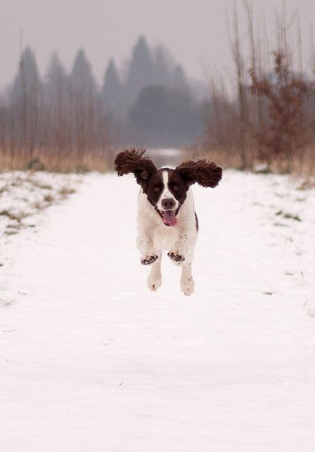 Dog bouncing on snow....a springer spanial!  Energy and exuberance!