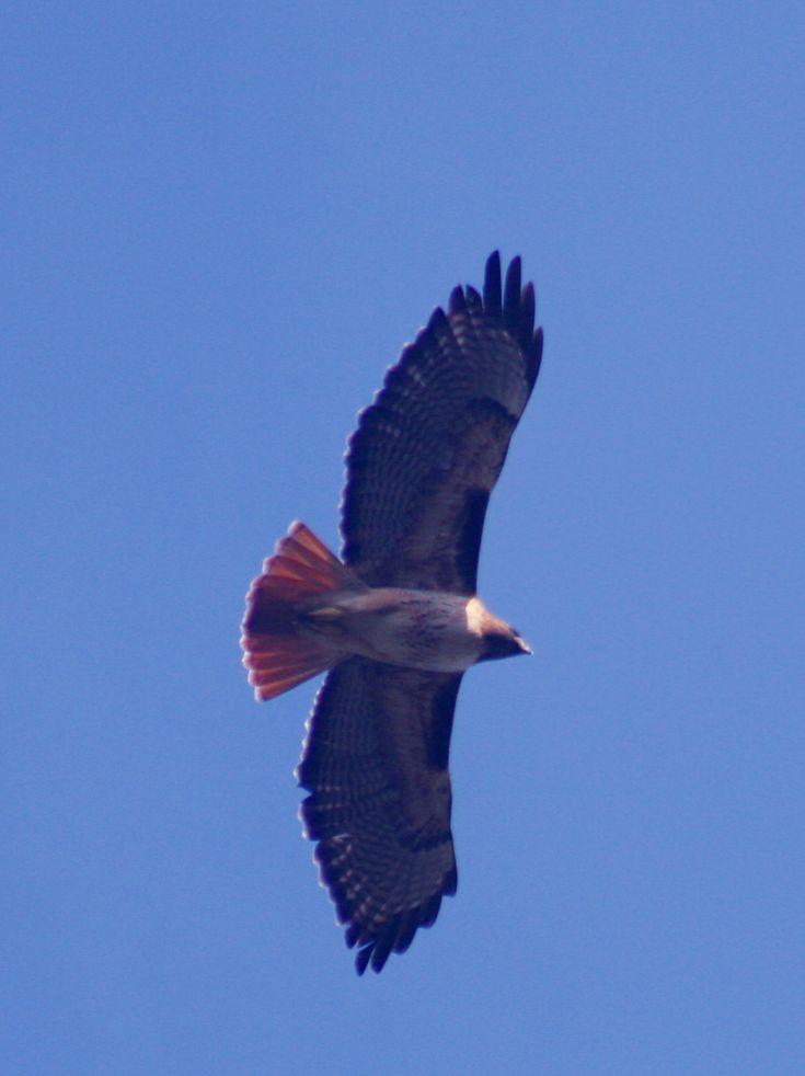 Falcão da cauda vermelha (Buteo jamaicensis) em vôo, mostra sua  cauda vermelha.  Fotografia: Brocken Inaglory.