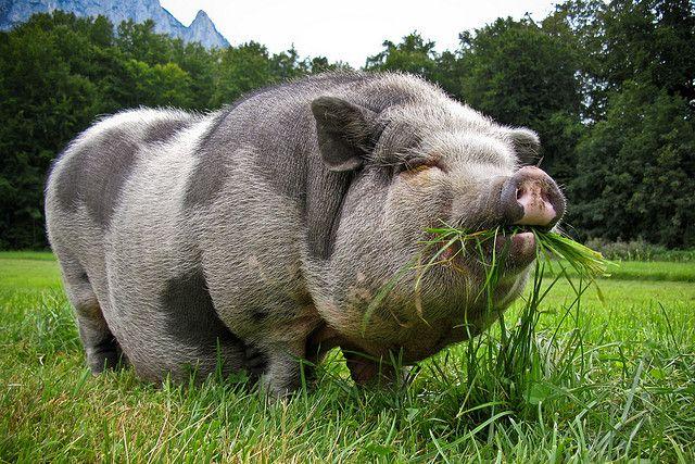 pot belly pigs <33