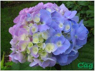 Гортензия – королева тенистого сада » Журнал «Нескучный сад»