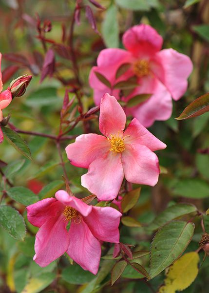 The beautiful China rose Rosa × odorata 'Mutabilis' - flowers from July through…