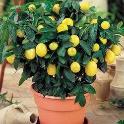 Dwarf lemon trees for the house. Smells good. Tastes good. And, they're adorable.