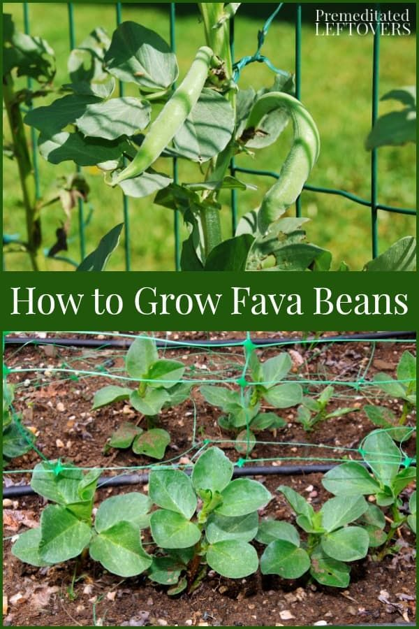 This Guide On How To Grow Fava Beans Includes Everything You Need To Know About Growing Fava Beans From S Organic Gardening Tips Growing Vegetables Easy Garden