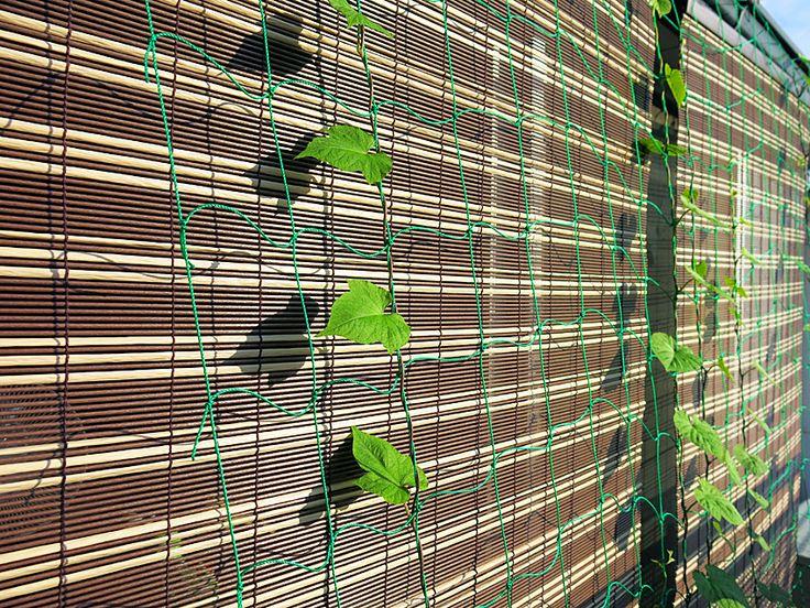 2013年7月24日(水) おはようございます!夏、省エネの第一歩である「グリーンカーテン」。今年はアサガオを早めに植えたつもりですが...プランターが小さすぎるのか!?土が悪いのか!?鉢数が少ないのか!?ご覧の通り...。負けを認めて、すだれを購入しました。育て方を見直し、2014年へ向けて始動です(^^;  それでは、今日も皆様にとって良い1日になりますように☆ 【加古川・藤井質店】http://www.pawn-fujii.jp/