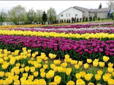 Flori , Flowers , Lalele , Bulbi , Gradina , #Zambile , #Narcise , #Lale...