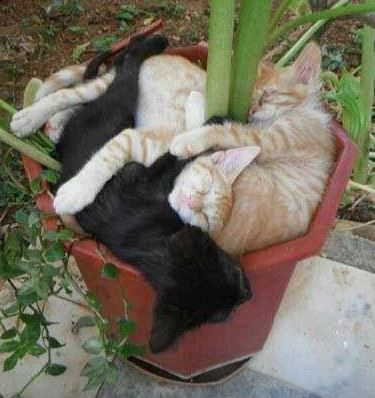 ~When planting your cats, make sure to space them 6 inches apart so they have room to grow~  :)