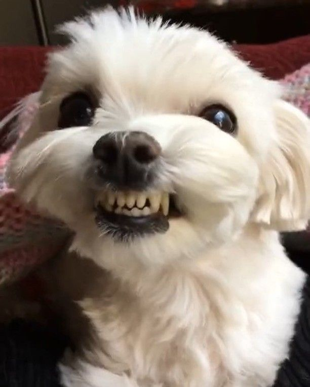 My best Tom Cruise smile (With images) | Maltese puppy, Teacup ...