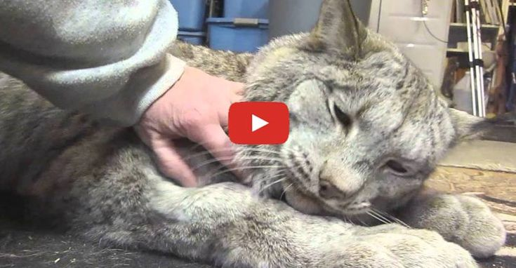 Click to meet Max, an adorable Lynx with a very loud purr!