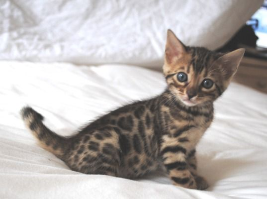Bengal Kitten... Not a fan of cats at all but this one is soo dope I would totally get it! Cha cha cheetah