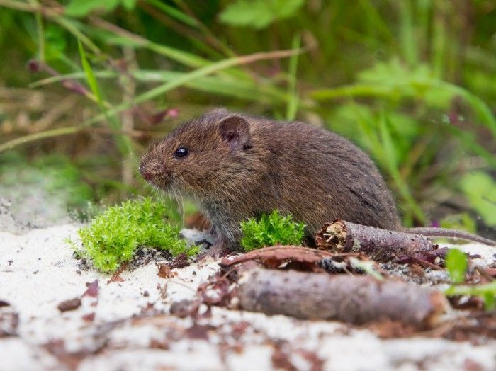 How To Get Rid Of Voles In Your Yard The Housing Forum Household Cleaners Remedies