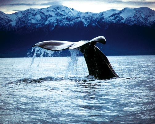 This is Kaikoura, New Zealand. Sperm Whale with the Seaward Kaikoura Mountains in the background. Just off shore is a sea canyon and it is this feature which indirectly attracts the whales.