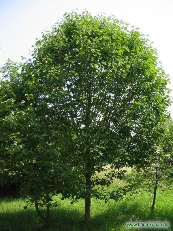 Elsbeere Sorbus Torminalis Habitus Familie Rosaceae