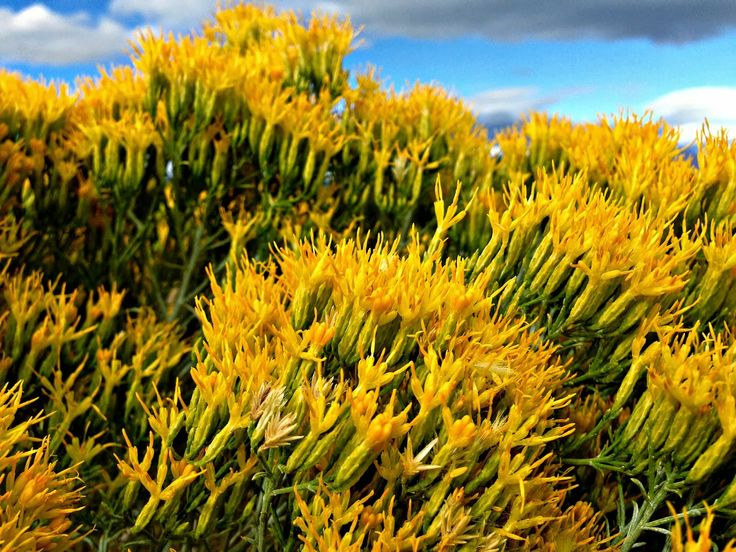 Sagebrush Nevada state flower Flowers Pinterest