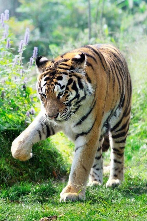 ~~Autumn Siberian Tiger by Ryu Jong soung~~ | Animal ...