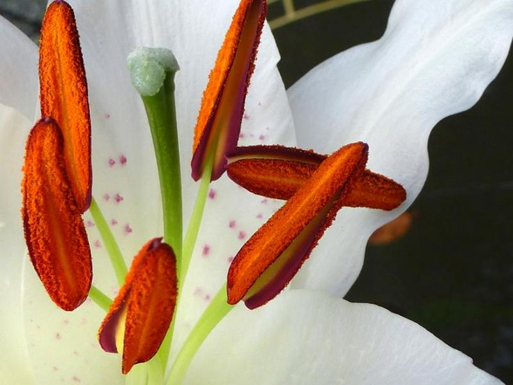 Close up macro detail of the striking bright orange red anthers and stigmata of a fresh white Easter lily - free stock photo from www.freeimages.co.uk