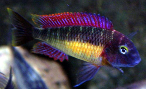 """Tropheus Moori """"Red Rainbow"""" Habitat: Shallow Precipitous Rocky Habitat  Diet: Herbivore  Gender Differences: Monomorphic  Breeding: Maternal Mouthbrooder                  Temperament: Highly Aggressive  Maximum Size: 5""""  Temperature: 77 - 79°F  pH: 8.6  Water Hardness: Very Hard  Difficulty: 4  A tendency to catch """"bloat"""" make them a real challenge. All Tropheus species are algae browsers in the wild and therefore their diet should consist mostly of (but not all!) vegetable matter."""