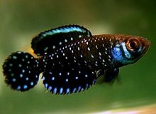 Killifish - small pieces of natural art