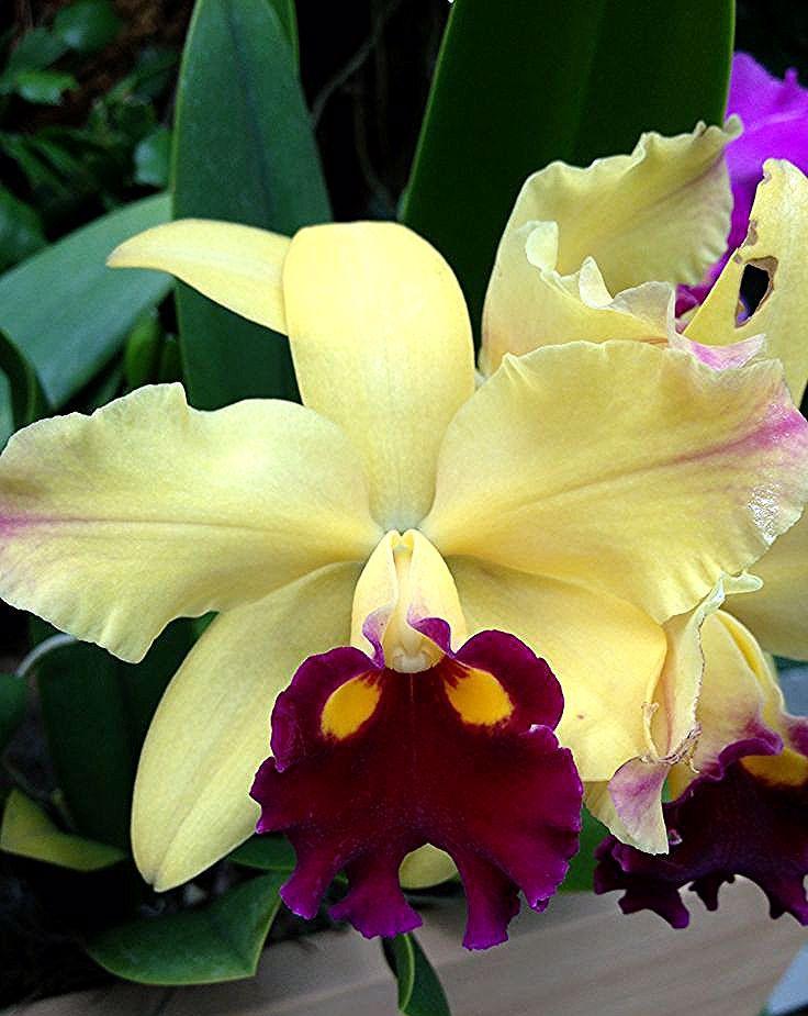 Cattleya Orchidee Cattleya Orchidee In 2020 Beautiful Orchids Unusual Flowers Cattleya Orchid