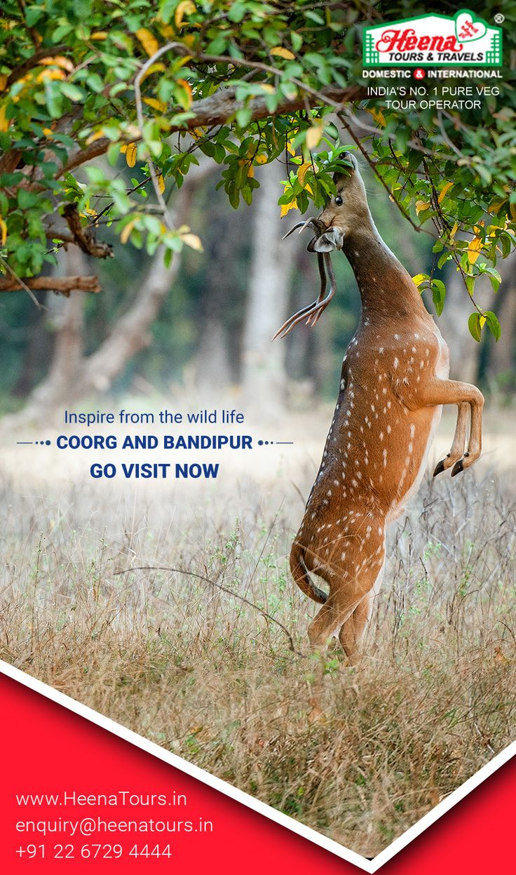 Coorg And Bandipur - Inspire from the wild life..!! Experience the authentic South Indian cuisine, and enjoy wildlife at Bandipur National Park. Coorg is rich in natural resources which included timber and spices. Take a look at the Coorg Tour Packages with Heena Tours, and we're sure you wouldn't be disappointed.