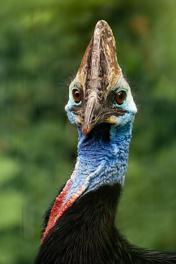 17 best images about fancy cassowary on pinterest bird