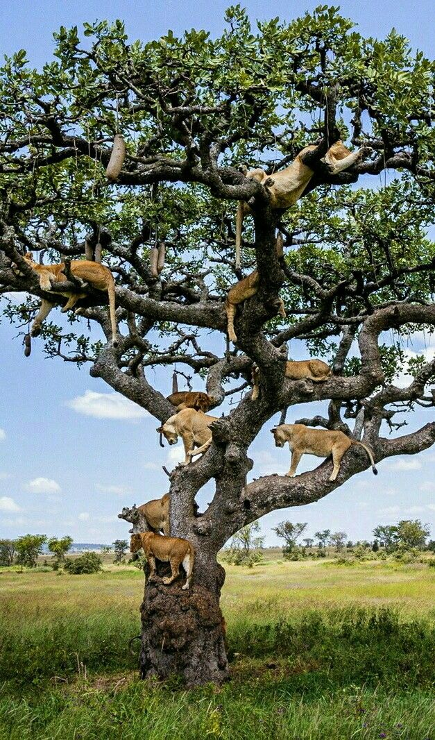 This is a rare species of trees in Africa, its called:  The Lion Tree!  LOL