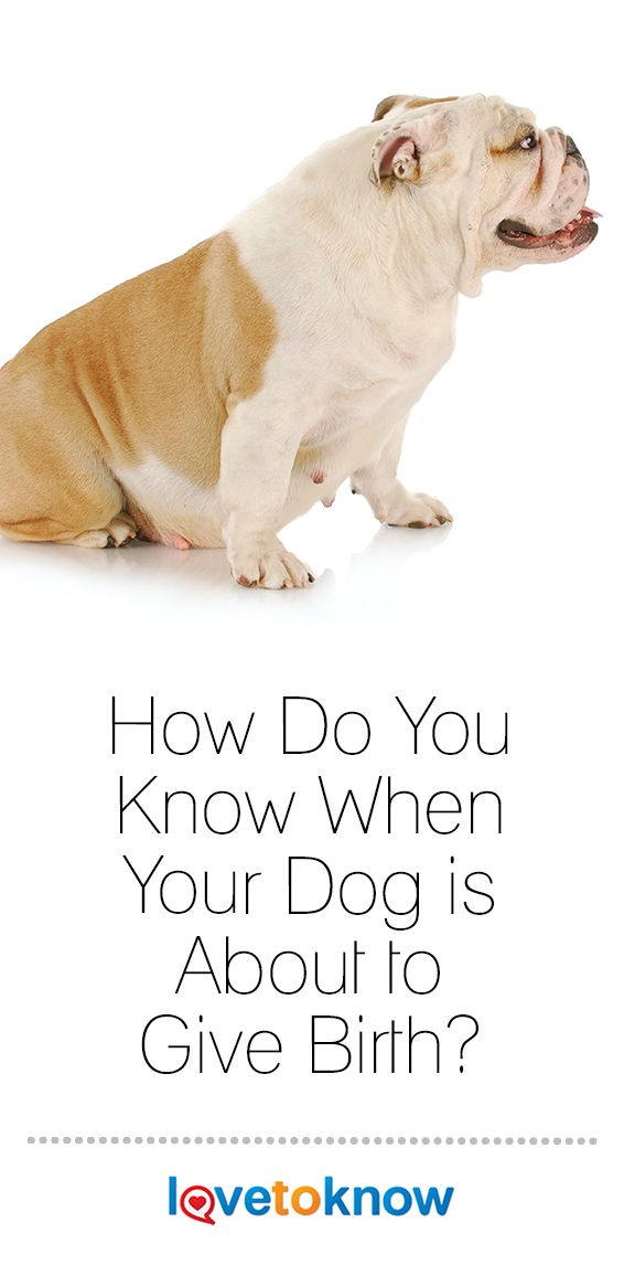 How Do You Know When Your Dog Is About To Give Birth