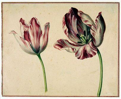 Tulip botanical drawing