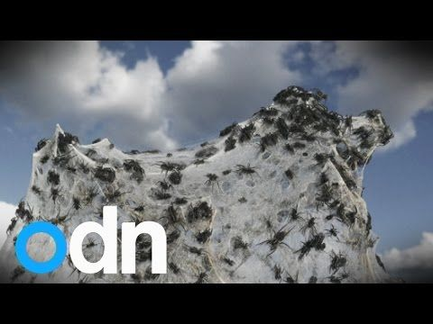 Avustralya çok garip bir memleket, gitmeyi en çok istediğim ülkelerden biri,  gökten milyonlarca örümcek yağdı ! - It's raining spiders! Spider rain phenomenon explained - YouTube