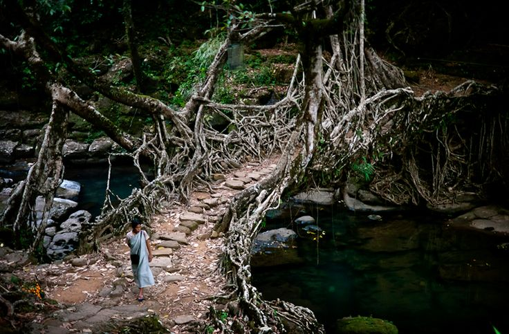 Deep in the rainforests of the Indian state of Meghalaya, bridges are not built, they're grown. For more than 500 years locals have guided roots and vines from the native Ficus Elastica (rubber tree) across rivers, using hollowed out trees to create root guidance systems.