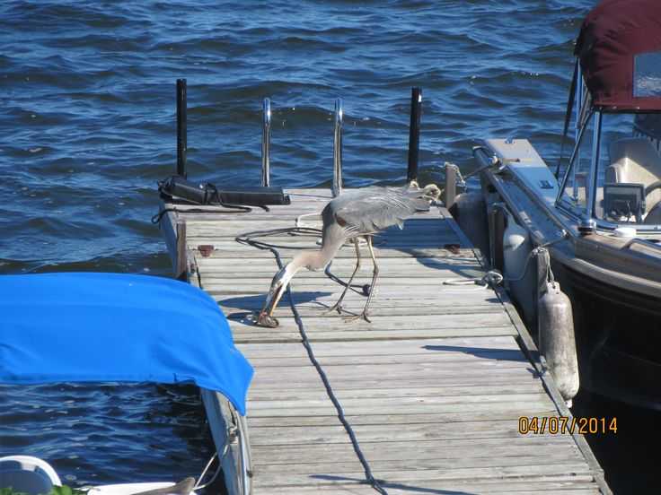Common visitor is Blue Heron but we call Egor.