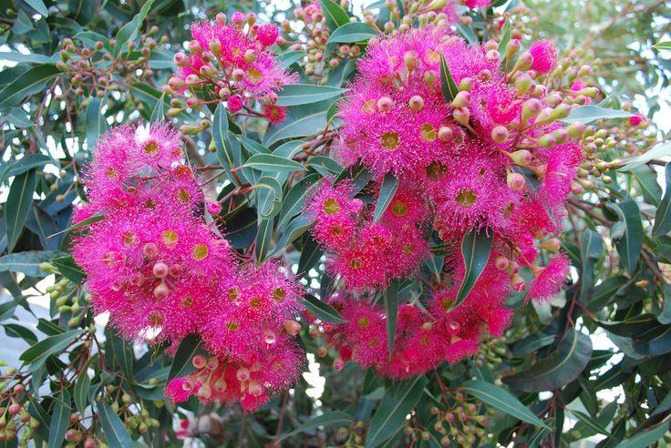 Image result for flowering gum
