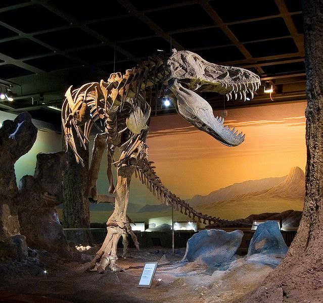 This excellent photo gives a great view of a Tyrannosaurus rex skeleton on display at Naturhistoriska Riksmuseet in Stockholm, Sweden. This Tyrannosurus specimen is known as 'Black Beauty'.