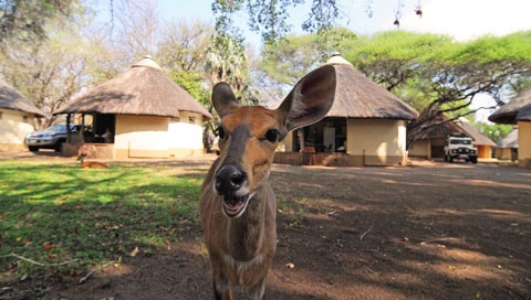 Bushbock in front of the rondavels at Letaba Rest Camp.