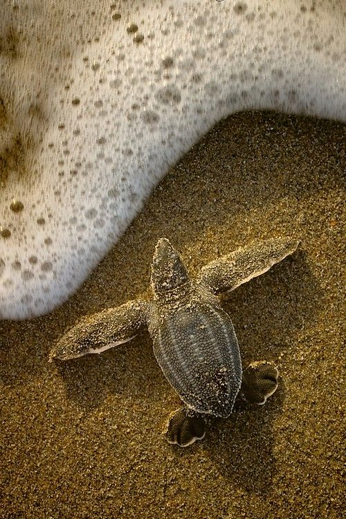 wonderous-world:      Leatherback hatchling by Chris Johnson