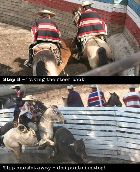 After turning the steer in a rodeo the 'collera', the pair of huasos and horses, take it smoothly back round. horseridingchile.com. Below is one who got away - slipped out from being pinned close to the wall of the media luna. The winner gets to dance the cueca with the local beauty queen of the rodeo. See above