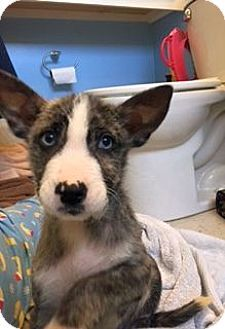 Columbus, OH - Husky/Terrier (Unknown Type, Medium) Mix. Meet Thunder a Puppy for Adoption.