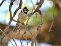 There are many varieties of Titmice across the country. They are active, feisty birds that love to hang out at bird feeders in backyards. They are resident birds that stay put all year long. This variety is called a bridled titmouse, found in the Southwestern portion of the United States.