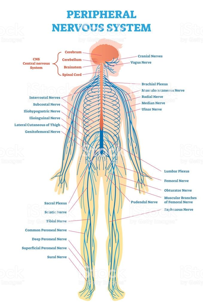 Peripheral Nervous System  Medical Vector Illustration Diagram With     With Images