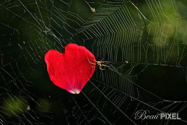 Spider Declares Love