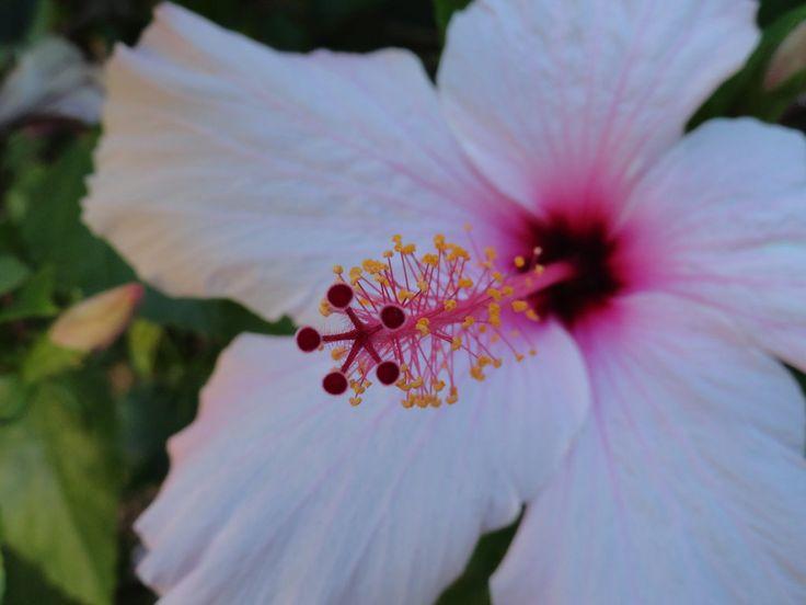Pink Hibiscus by Miriyan
