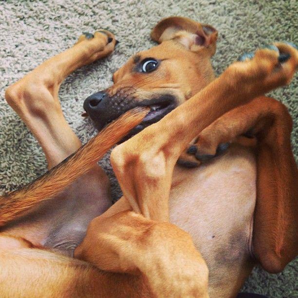 simon redbone coonhound We have a Plott Hound, but oh, my, do I love the Redbone.