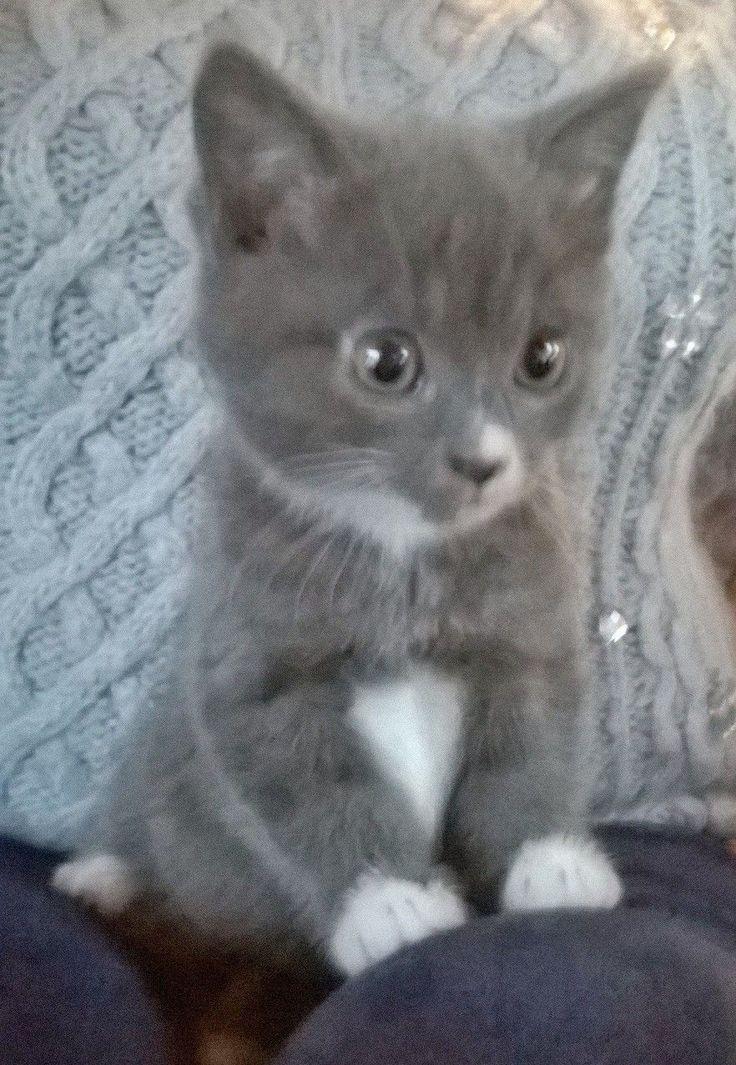 Russian blue kittens for sale Newbury, Berkshire