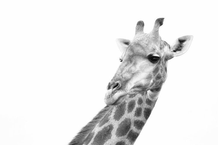 Looking back by Tracy Wilkin on 500px. Giraffe, Kruger National Park, Safari, South Africa, wildlife.