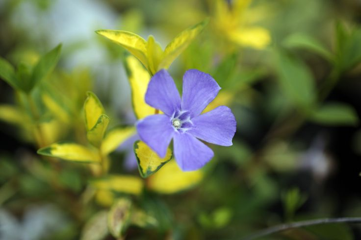 """We love the colour of flowers and foliage on Vinca minor """"Illumination"""" (While we keep a fantastic range of plants in stock 12 months of the year, we would advice giving us a ring if you are looking for a specific plant, call us now on 01924 276446)"""