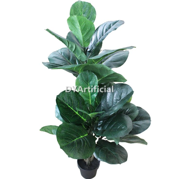best 25 ficus pandurata ideas on pinterest big house plants fig tree types and plants indoor. Black Bedroom Furniture Sets. Home Design Ideas